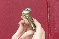 Blue-headed Vireo ready for release. (jaybirding) Tags: animal banding bird falmouth leicavlux114 maine me nature outdoor stormer us