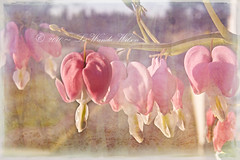 ~ Happy Easter... Happy Spring ~ (~ Western Dreamer ~) Tags: pink flowers sunlight nature gardens easter hearts blessings spring gardening delicate springtime pinkflowers eveningglow bleedinghearts happyeaster happyspring