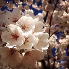 Good morning, Springtime!  #sakura #makebeautiful (off white photography) Tags: noflash hipstamatic blankofreedom13film janelens
