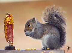 All U can eat (jcdriftwood) Tags: corn squirrel feeder eat graysquirrel easterngraysquirrel allucaneat