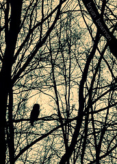 watcher (BryanBowman) Tags: bird nature silhouette photography woods owl barred