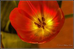 Experimenting with Lighting - Tulip Flower and Natures Design. (Bill E2011) Tags: flowers nature beauty design tulip vigilantphotographersunite vpu2 vpu3 vpu4 vpu5 vpu6 vpu7 vpu8 vpu9 vpu10