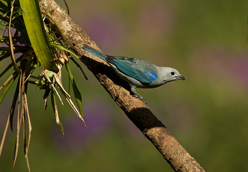 Blue grey tanager