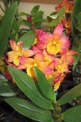 Akatsuka Orchid Gardens (BarryFackler) Tags: life flowers plants orchid nature beautiful leaves garden botanical island volcano hawaii polynesia petals flora colorful gardening nursery blossoms pistil stamen stems tropical bigisland blooms botany horticulture puna organism orchidgardens volcanohi hawaiicounty hawaiiisland 2013 atsuka volcanohawaii akatsukaorchidgardens barryfackler barronfackler our23rdanniversary
