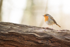 Rouge-gorge, Robin (Zed The Dragon) Tags: wild bird robin speed jaune french geotagged rouge effects photography photo flickr tits minolta photos bokeh sony main vert 100mm full frame gorge f2 fullframe alpha antony animaux parc postproduction franais greattit sal zed oiseaux francais rougegorge sceaux lightroom effets msange parcdesceaux 24x36 2013 a850 sonyalpha hpexif parcsceaux dslra850 alpha850 zedthedragon charbonnire