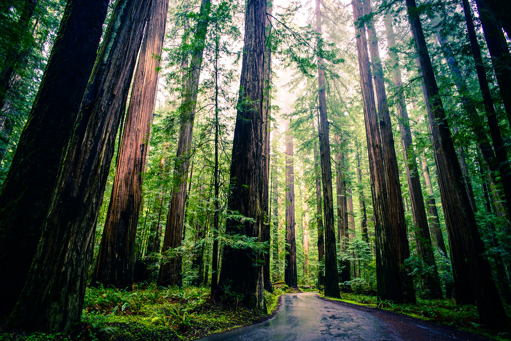 Redwoods by michael.balint, on Flickr