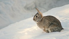 This is spring? (Kim's Pics :)) Tags: morning light wild snow rabbit bunny animal spring backyard ngc fluffy npc visitor furball lookslikewinter hoppingalong pilesandpilesofit sunrays5