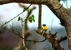 The Black-hooded Oriole (Oriolus xanthornus) (mechstar) Tags: morning wild india black bird yellow nikon small hood f4 tamilnadu gupta sandip oriole nilgiri hooded masinagudi oriolus 200400 vrii xanthornus benebou