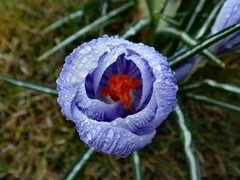 Purple in the Rain. Crocus, Emmaplein, Groningen, The Netherlands (Rana Pipiens) Tags: rain march purple crocus april soe geoffreychaucer fantasticflower flickraward mygearandme blinkagain emmapleingroningenthenetherlands
