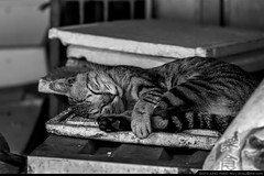 Happy Napping  (olvwu | ) Tags: shop cat market sleep taiwan stall rest chiayi vender jungpangwu oliverwu oliverjpwu chiayicity traditionalmarket chiayicounty eastmarket olvwu jungpang