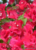 Bougainvillea Beauties (Desiree Banka) Tags: pink flowers red greenleaves green flora florida vibrant blossoms bougainvillea evergreen everglades bonsai bloom napoleon desiree flowering deciduous plantae ornamental guam riso banka blooming bracts santarita hotpink buganvilea thorny nyctaginaceae veranera buganvilia floweringplants tresmarias bougainvilleas floridaflowers roseta alligatorfarm caryophyllales angiosperms trinitaria ornamentalplants eudicots coreeudicots smallwhiteflower tinywhiteflowers flordepapel ceboleiro papelillo flowerblooms rimavera roseiro evergladesalligatorfarm putitainobiu bougainvilleaplant woodyvines southamericanflowers louisantoinedebougainville semprelustrosa pauderoseira bougainvilleatree philibertcommercon desireebanka desireesdezigns bonsaitechniques jeannebare officialflowerofguam patuguinha rvbutt uttiana