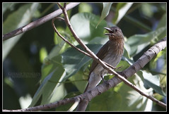 Philippine Bulbul (Gerald Yuvallos) Tags: nature birds canon philippines 300mm 7d cebu bulbul 2x cebusugbo istoryanet fafagraphy
