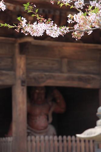 Sakura / 桜(さくら)