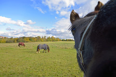 DID YOU CATCH MY BEST SIDE? (DESPITE STRAIGHT LINES) Tags: uk england sky horses horse cloud sunlight field animals clouds kent nikon cloudy horseface meadow meadows pasture naturereserve pastures horsey snout equine inquisitive uwa sigma1020mm horseshead sidcup flickrday horseblanket paulwilliams scadburypark horsesinafield horsesface d7000 horsesinameadow nikond7000 sigmaultrawideanglelens despitestraightlines thenoseyhorse theinquisitivehorse scadbudyparknaturereserve ilobsterit
