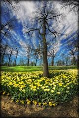 da Messer Tulipano 2013 #1 (celestino2011) Tags: raw nuvole giallo fiori hdr tulipani photomatix nikond90 nikcolorefex30 samyang8mm