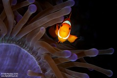 Lookin' at ya kid! (digidiverdeb) Tags: clownfish nikkor60mm rajaampat msyseahorse debihenshaw nauticamd300s
