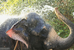 MG_3472 (PRATHAPSTOCKIMAGE) Tags: india elephant festival canon religion decoration kerala trissur pooram nettipattom eos60d