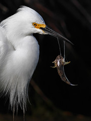 Slippery Fish.... (bmse) Tags: fish shark sand snowy prey egret hunt bolsachica