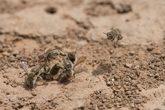 Fighting Male Digger Bees130425-1545.jpg (elliot.lowndes) Tags: california male animal animals insect flying fight wings competition bee animalia arthropoda antennae hover arthropod compete diggerbee anthophoraedwardsii