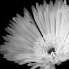 Orange erased [explore 2013-04-27... thanks!] (Solomulala | mostly weekends ;-( !) Tags: blackandwhite bw orange flower macro blancoynegro canon flor filter 7d naranja tamron90mm filtro solomulala murielcdejong