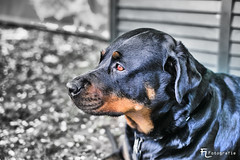 Rottweiler Ina