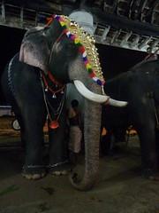 koodalmanikyam utsavam 2013 shiveli21 (koodalmanikyam-utsavam) Tags: elephant utsavam irinjalakuda koodalmanikyam irinjalakudautsavam shiveli koodalmanikyamtemple koodalmanikyamutsavam2013 koodalmanikyamutsavamphotos