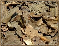 Camouflage (BrigitteChanson (mostly off)) Tags: butterfly papillon camouflage mariposa farfalla allofnatureswildlifelevel1
