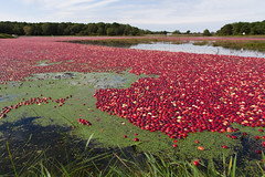 photo-3 (Casey Atkins) Tags: fall capecod cranberries bog