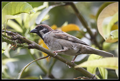 Eurasian Tree Sparrow (Gerald Yuvallos) Tags: tree bird nature birds canon philippines 300mm sparrow 7d cebu eurasian 2x 28is istoryanet fafagraphy