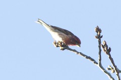 Purple finch (Henry McLin) Tags: