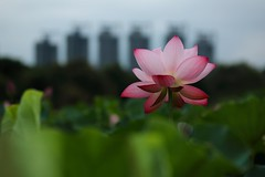 """""  ~LOTUS~ (PS~~) Tags: new city plants water canon leaf lotus taiwan dew bloom taipei aquatic  lian xindian         mirrorless"