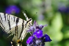butterfly portrait (Sandra Schmid Fotografie) Tags: macro nature butterfly natur schmetterling tamron90mm schwalbenschwanz papiliomachaon pentaxk30