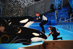 Tuar and Kyuquot4 (GypsySkye7) Tags: sanantonio believe orca seaworld shamu killerwhale kyuquot captivity tuar
