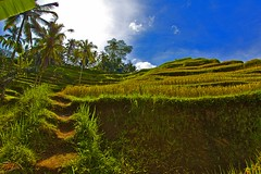 Rice terraces #2 (Ausamah) Tags: old travel sky bali woman man reflection green art love water girl beautiful field indonesia temple photography bahrain paradise child gulf rice julia farmers terrace farm pray grow scene arabic eat national arab roberts arabian agriculture hindu indonesian geographic peasant balinese ausamah alabsi