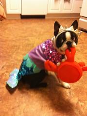 Mermutt (CaseyFay) Tags: dog fish ted tiara beach boston puppy bostonterrier costume purple turquoise bat ears terrier tuxedo crown mermaid kennedy fins tk fishtail sequin