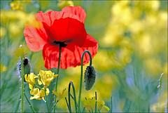 Chiffonn ! - Crumpled ! (capitphil) Tags: red flower fleur rouge belgium belgique poppy coquelicot wallonie famenne
