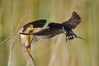 Barn Swallow Ballet 9026