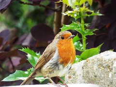 In the Red ...  (Tricia in Kent UK ....) Tags: inthered robin robinredbreast birds garden outdoors