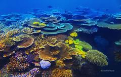 Coral assortment (kyshokada) Tags: corals reef astrolabereef fiji pacific snorkeling powershot underwater canon