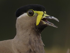 Close up (Kishanm05) Tags: yellow lapwing close up chandlai bird wild