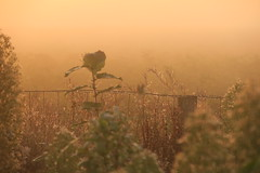 Early morning at the fence (lique1304) Tags: hff fencefriday fence fog sunrise haze flowers canon