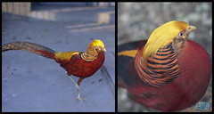 1211 IMG_6239 (JRmanNn) Tags: goldenpheasant beijingzoo china