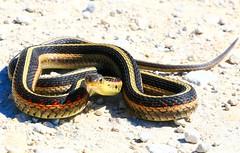 eastern garter snake (Thamnophis sirtalis sirtalis) near Lime Springs IA 854A1679 (lreis_naturalist) Tags: eastern garter snake thamnophis sirtalis lime springs howard county iowa larry reis