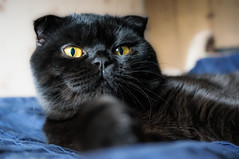 Plato (anastasia.kucherova) Tags: scotish fold black cat