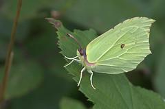 Citron (Alain G G) Tags: gonepteryxrhamni belgique papillon nature pieridae