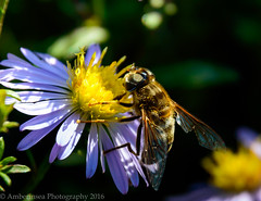 FlowerFly (Amberinsea Photography) Tags: flower flowerfly petals nectar pollen pistils macro macrophoto macrophotography nature summer sun insects amberinseaphotography sweden nikon nikond3200