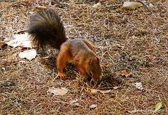 Scoiattolo rosso con coda nera (sciurus vulgaris) (3) (edmondo rizzo) Tags: scoiattolorosso sciurusvulgaris codanera femmina noci bologna mammifero