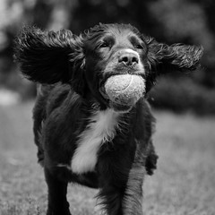 Dog Photography by Gerry Slade-2438 (Photography By Gerry Slade) Tags: dogphotographer gerryslade wwwgerrysladecouk cocker spaniel