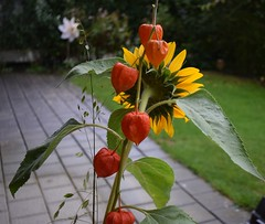Bouqet Sunflower and Lampion 18.09 (5) (tabbynera) Tags: bouquet sunflower lampion