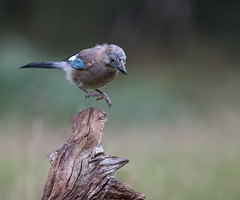 Coming in to Land - Jay (DaisyDeeM) Tags: jay nature beauty feathers landing beak outdoor